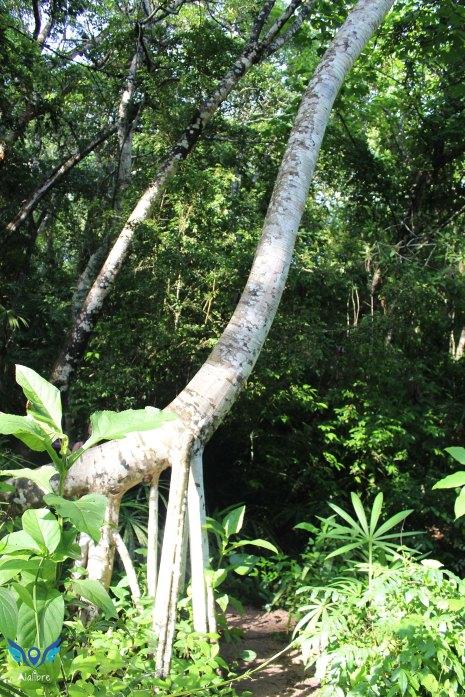 Brachiosaurus Tree