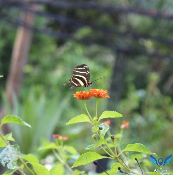 Butterfly Polinization